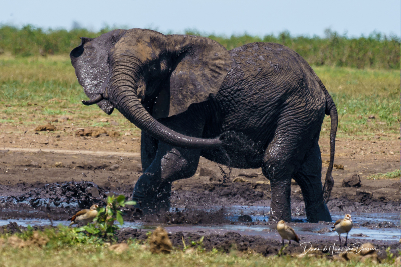 Olifant neemt modderbad