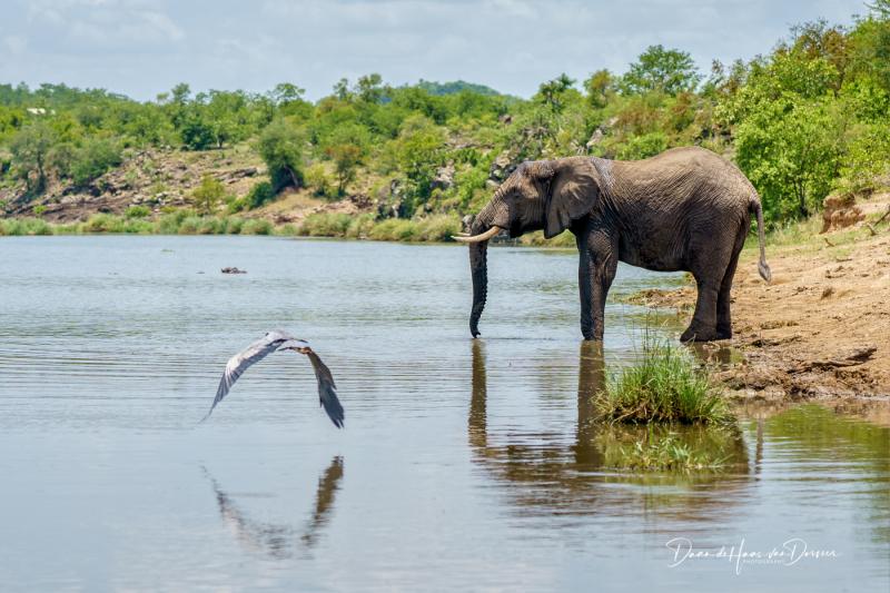 Drinkende olifant met reiger
