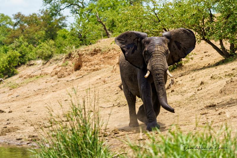 Boze olifant doet schijnaanval