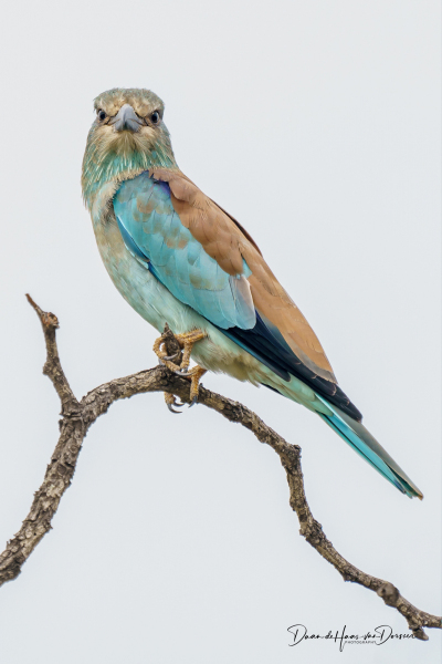 Europeese roller