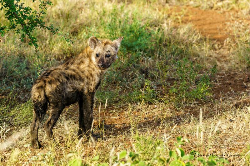 Hyena jong 2