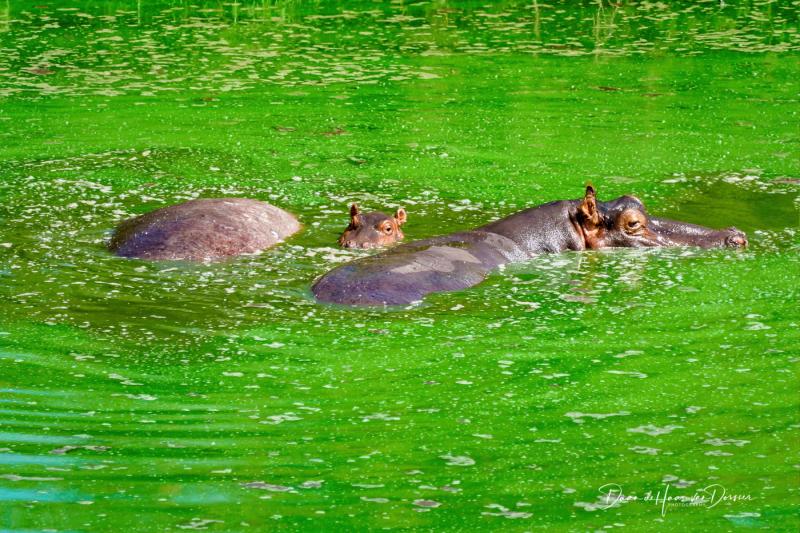 Nijlpaarden in de erwtensoep
