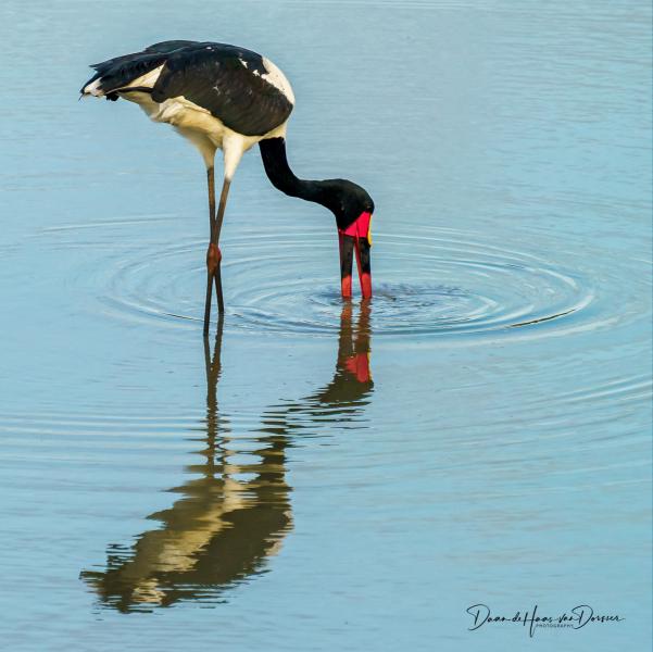 Saddle billed stork (ooievaar)