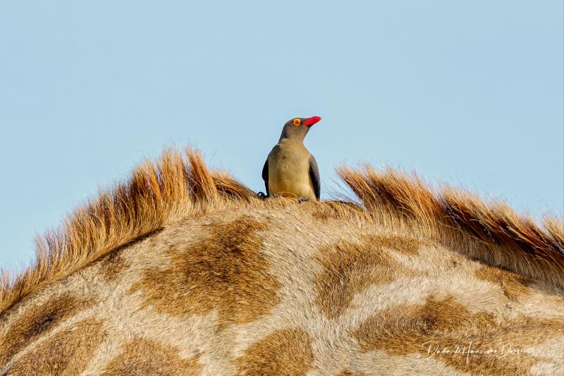 Oxpecker op de rug van een giraf