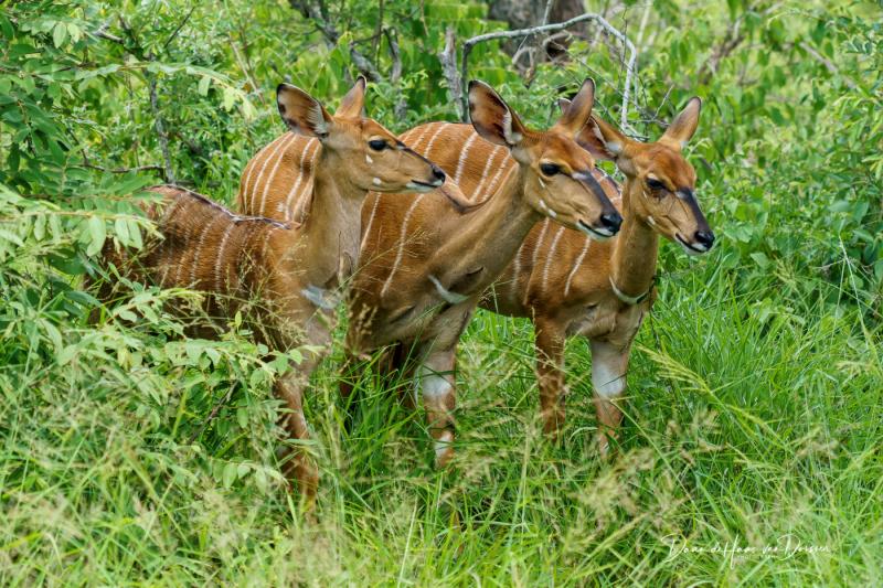 Nyala dames in de bosjes