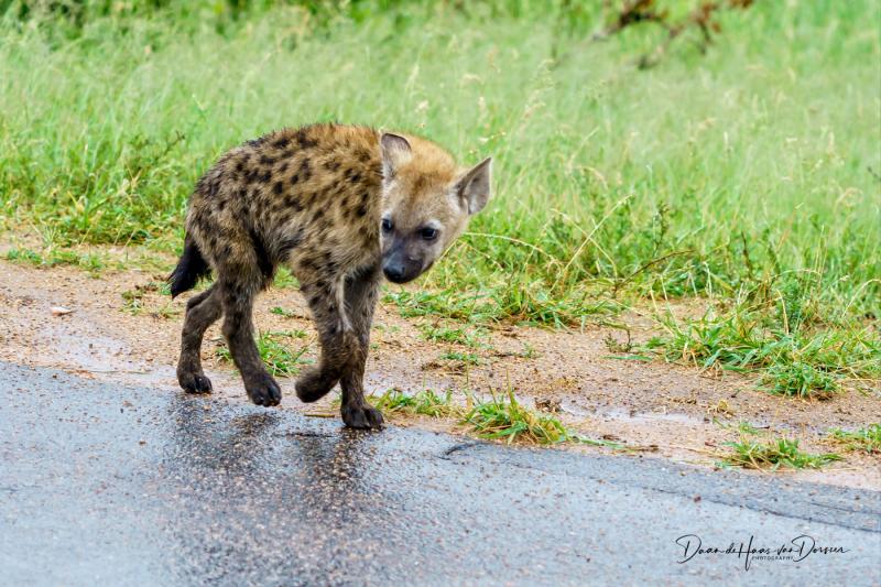 Jonge hyena lans de weg