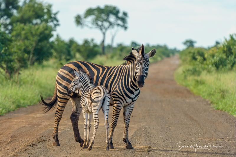 Zebra met jong op de weg