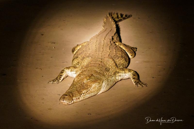 Krokodil op de weg