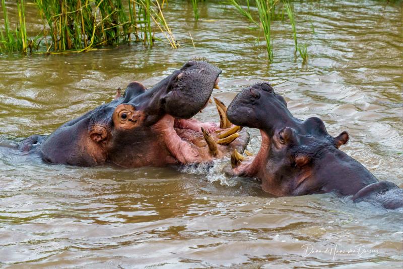 Bekvechtende nijlpaarden