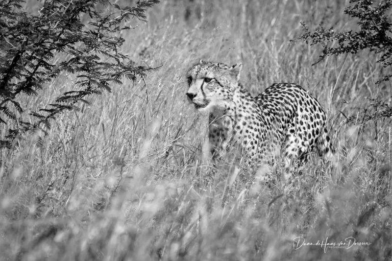Jachtluipaard  in het gras (ZW)