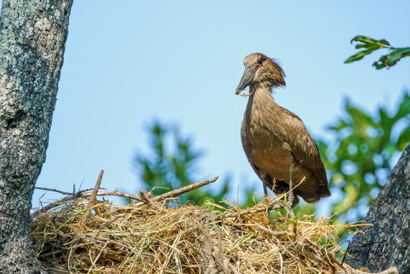 Hamerkop die een nest bouwt