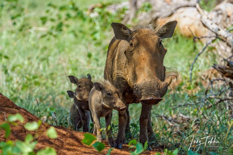 Pumba (wrattenzwijn) met jongen
