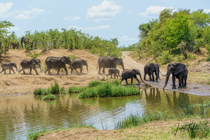 Olifanten op de weg bij een drinkpoel