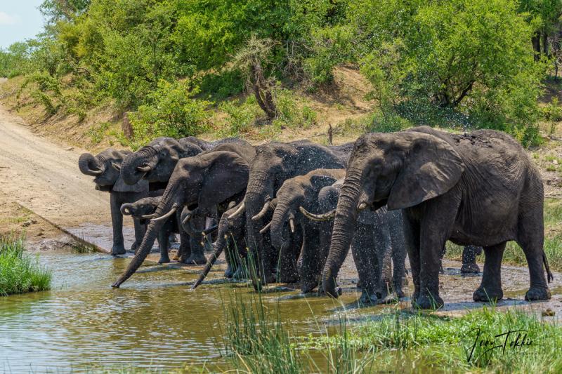 Olifanten op de weg bij een drinkpoel 2