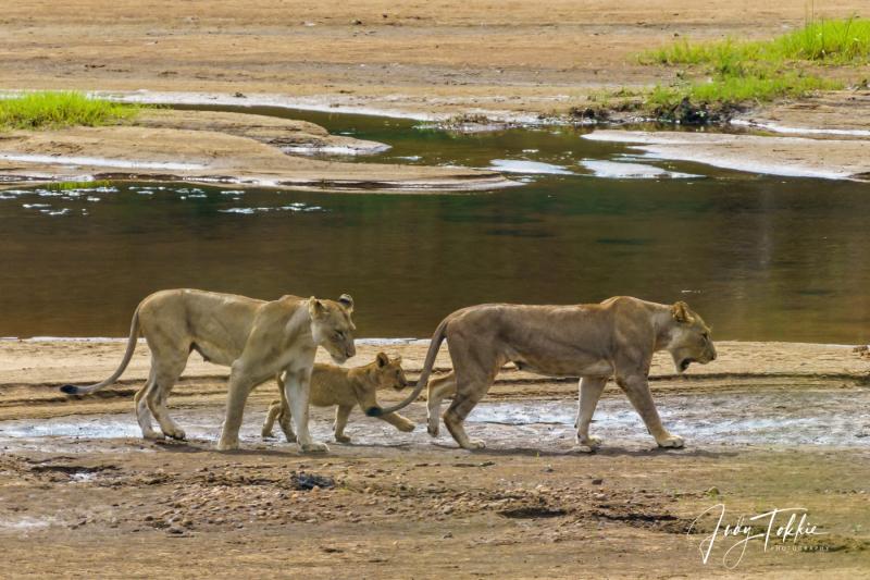 Twee leeuwinnen met jong in de rivierbedding