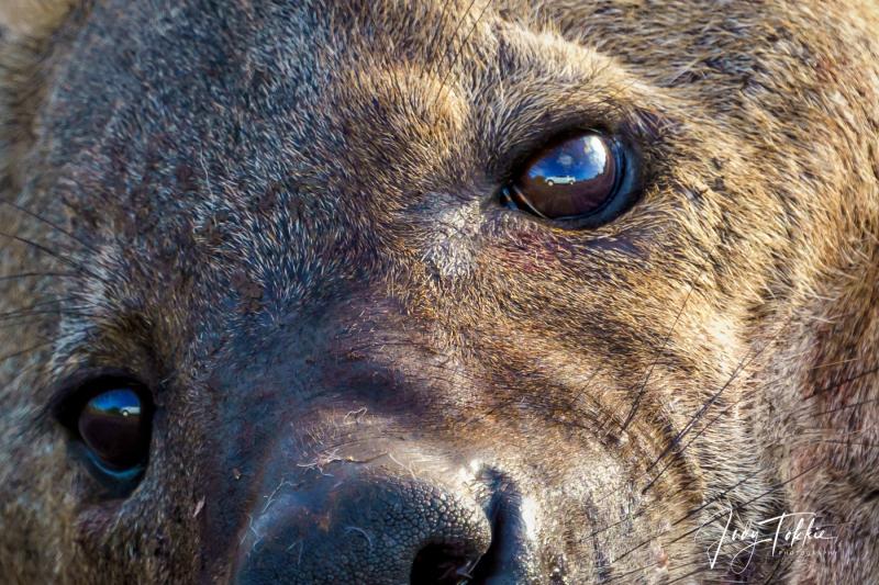 Kop van een hyena vrouwtje