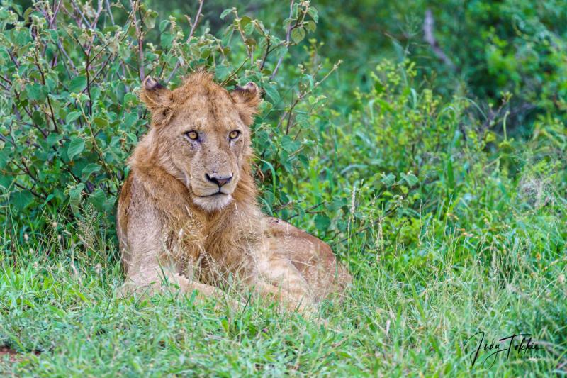 Jonge mannetjes leeuw langs de weg